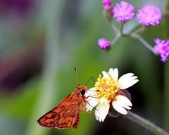 Nektar (xeno(x)) Tags: flowers color macro art nature canon butterfly garden insect asia skipper wildflowers 2008 xeno bej abigfave lighteo40d