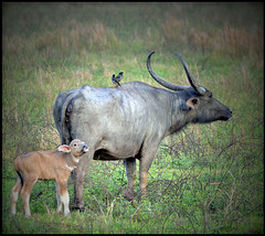 Buffy's first day (JuttaMK) Tags: india buffalo newborn assam kaziranga naturesfinest impressedbeauty goldwildlife mauekay
