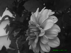 side view (jessigirl_94) Tags: flower detail beautiful closeup wonderful garden amazing creative balckandwhite mysterious
