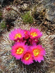 More cactus flowers