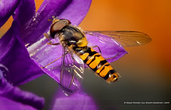 Hoverfly (Edgar Thissen) Tags: flower macro nature garden insect fly backyard bravo wildlife hoverfly naturesfinest zweefvlieg pyjamazweefvlieg episyrphusbalteatus edgarthissen specanimal 43112