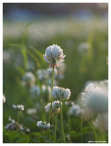 White clover 20090520 #02