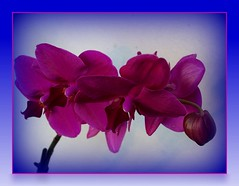 My orchid trials #1 (Tulay Emekli) Tags: flowers orchid orchids backposted
