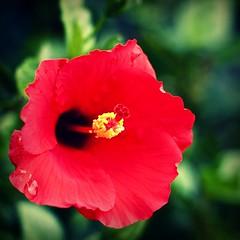 rouge (iamchanelle) Tags: red flower macro fleur catchycolors garden 50mm bokeh earth az hibiscus gilbert p cath motherearth deathcabforcutie gilbertaz agritopia bokey natureycrap thecoffeeshop joesfarmgrill hbwe happyhibiscustuesday