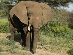 Elefante viejo con un solo colmillo (pacoveratf) Tags: africa travel elephant animal tanzania libertad holidays safari viajes vacaciones elefante safarifotogrfico paquidermo elefanteafricano animalsalvaje colmillo safaritravel naturalezasalvaje fotosmaravillosas fotografanaturaleza tanzaniaelephant animallibertad