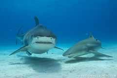 Emma and a lemon (echeng) Tags: shark tiger emma bahamas lemonshark tigershark echeng grandbahamabank