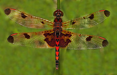 Dragonfly - Calico Pennant, male (asparks306) Tags: mbg potofgold blurb2