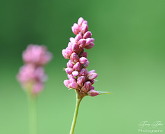 Just .... Pink (Tracey Tilson Photography) Tags: pink wild flower macro green nature 50mm stem weed nikon pretty natural blossom bokeh farm pastel may micro multiples tuesday bloom nikkor wildflower 2009 picnik 250 slender dcr lifeisgreat raynox d90 storybookwinner