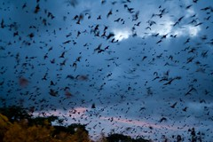 FLIGHT OF THE FLYING FOXES (petefeats) Tags: nature australia qld yeppoon blackflyingfox cabbagetreecreek