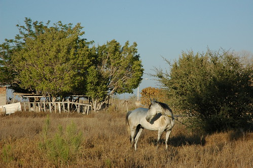 White gray horse, holding, stand of trees, desert, La Purisima / San Isidro, West Coastal, Baja California Sur, Mexico by Wonderlane
