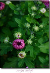 Starlight, Starbright (elisabeth adams) Tags: flowers green floral fleur closeup spring purple dreams bud makeawish flowerart floralart starlightstarbright lifeasart floralphotography abigfave floridaphotographer floridaphotography elisabethadams pixel8gallery wwwpixel8gallerycom