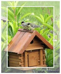 Nous avons faim ... (Photoslife) Tags: nature birds garden tits jardin naissance bb greattit oiseaux repas oisillon msanges becque seronval aliceseronval photoslife
