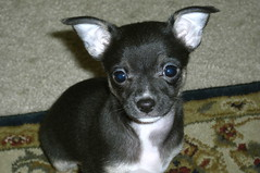 Chica (cerberus_arstd) Tags: dog chihuahua cute dogs puppy puppies chihuahuas zuzu cujo