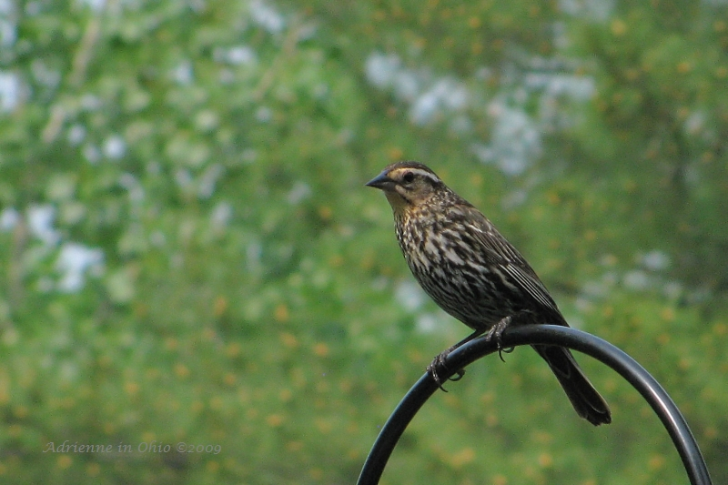 redwinged blackbird female photo by Adrienne Zwart