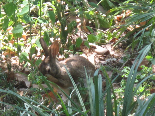 Wild bunny in the back yard.