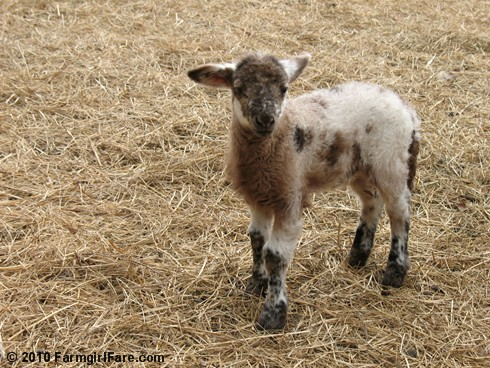 Daisy Mae's ewe lamb on 4-7-10