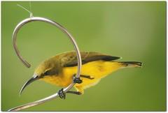 Golden Girl (gecko47) Tags: bird mobile female deck queensland honeyeater perched townsville sunbird nectoriniajugularis yellowbelliedsunbird