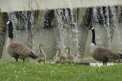 "Splish Splash, Geese and baby goslings out for a stroll • <a style=""font-size:0.8em;"" href=""http://www.flickr.com/photos/52093939@N07/5824935386/"" target=""_blank"">View on Flickr</a>"