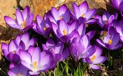 2014-03-09 Crocus tommasianus - BG Teplice (beranekp) Tags: flower garden flora czech crocus botanic botany garten herbarium botanik teplice teplitz herbary herb