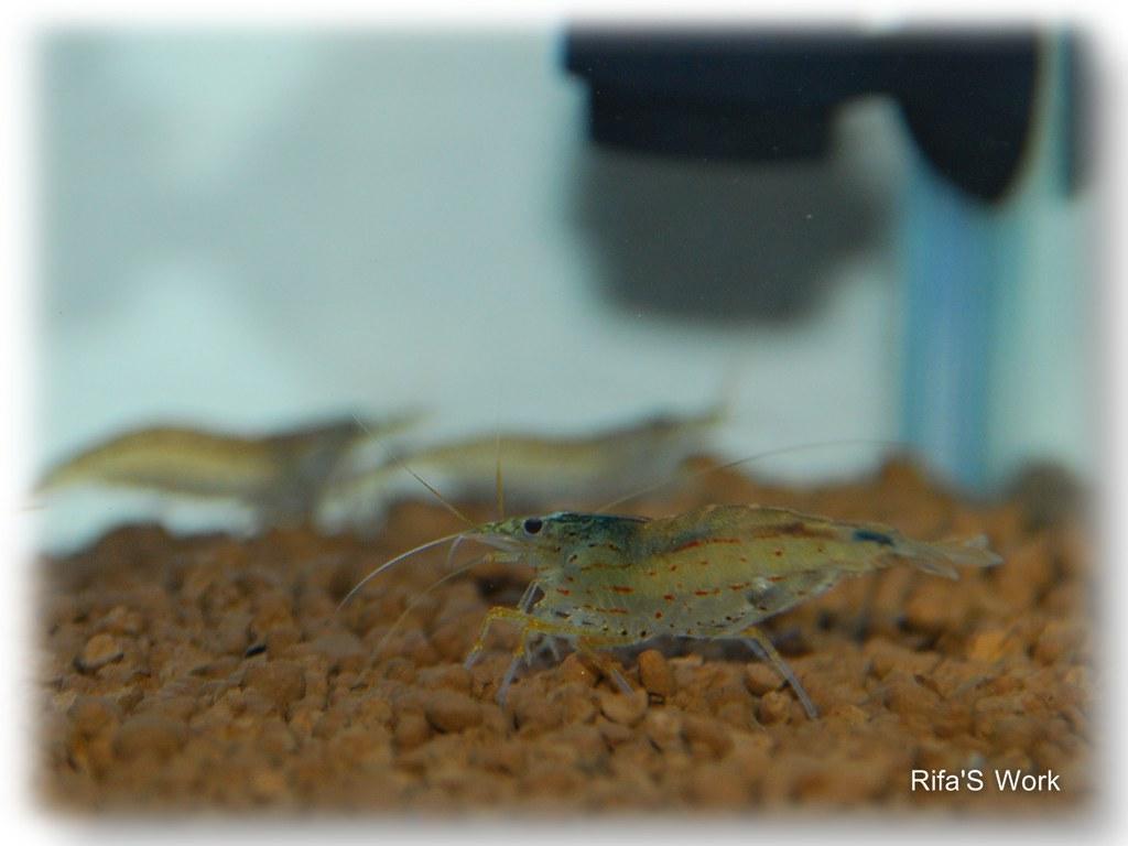 aquarium syami 6