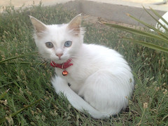 Bianca in the garden (Blake & Bianca) Tags: pet white cute green nature beautiful grass cat kitten bell gorgeous kitty whiskers greeneye bianca pinknose pictureperfect oddeye redcollar blueye cc400 cc300 cc200 cc100 bestofcats pet100 100commentgroup catnipaddicts 5prettykittycommentspartiv differenteyecolor