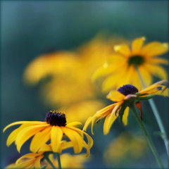 I can still dream of flowers, even in the chill of winter ... (Maureen F.) Tags: life color love wednesday searchthebest bokeh rudbeckia 2008 squared blackeyedsusan latesummer 50mmf18 lateday happybokehwednesday iamsosorryyoudontwannapostinmc