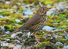Song Thrush (Turdus philomelos) (Ronan.McLaughlin) Tags: ireland sea irish white bird nature water birds woodland coast nikon marine wildlife cork shore maritime songthrush d80 irishwildlife sigma150500 thewonderfulworldofbirds