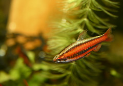 Red Pencilfish by brian.gratwicke, on Flickr