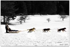 Dog Mushing (Ronaldo F Cabuhat) Tags: searchthebest lakegeorge dogsledding sleddog dogsled dogmushing pkchallenge cabuhat top20worldwide
