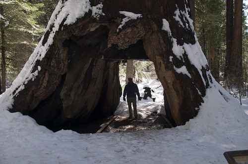 Some Natives saw the Sequoias as sacred. The early settlers thought it would be cooler to cut a big tunnel through them.