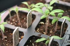 tomato sprouts