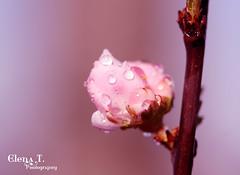 Welcome back Spring! * Bentornata Primavera! (*. Elena T. Photography .*) Tags: flower drops explore fiore gocce canonefs60mmf28macrousm canoneos450d platinumheartaward digitalrebelxsi elenatphotography bentornataprimavera welcomebackspring notripodasusual