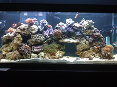 My 55 gallon reef tank by stapp, on Flickr