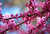 Sea Of Pink (jnoriko) Tags: pink flowers flower tree nature flora branch blossoms sacramento williamlandpark wparockgarden pfosilver