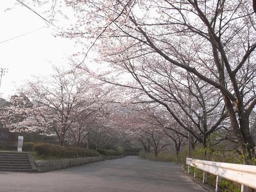 2009年-桜@当麻寺-06