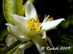 Lemon Flower (Rashdi) Tags: flower lemon karachi rashdi abigfave dscw55 theperfectphotographer vosplusbellesphotos
