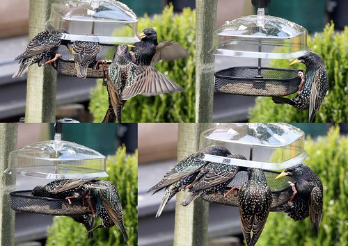 Starlings Collage