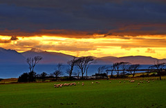 Sheep may safely graze (edowds) Tags: trees sunset mountains field scotland riverclyde sheep isleofarran grazing ayrshire portencross flickrchallengegroup flickrchallengewinner motifdchallengewinner