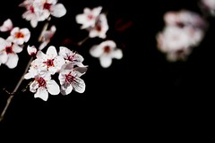 cherry blossom (Martin.Matyas) Tags: canon canonef50mmf18 eos400d