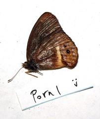 Platypthima ornata