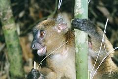 Greater Bamboo Lemur (Hapalemur simus) (wallygrom) Tags: nationalpark lemur madagascar ranomafana greaterbamboolemur hapalemur