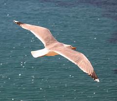 Seagull (ibzsierra) Tags: canon seagull ibiza ave eivissa gaviota digitalcameraclub 400d