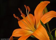 Tiger Lily 1 (SewerDoc (2 million views)) Tags: orange plant flower macro closeup stamen tigerlily flowerotica bej fantasticflower mywinners abigfave theperfectphotographer sewerdoc simplythebest~flowers jaredfein rosalyndasalla