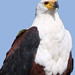 Closeup of African Fish-Eagle (Haliaeetus vocifer), Lake St Lucia