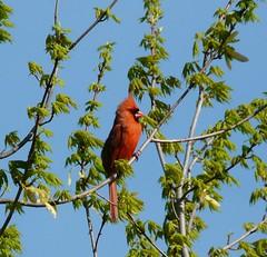 april 09 (JAMES HALLROBINSON) Tags: red tree male cardinal