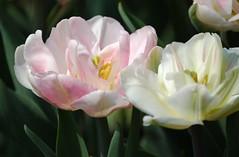 tender rose tulips, cropped (chris-tiane) Tags: pink spring flora tulips blumen tulip blooms nederlands printemps tulipa niederlande keukenhof tulpen tulpe blueten fruehling bluete tulp
