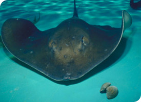 Rough Tail Ray
