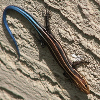 Southeastern Five-lined Skink, immature