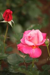 伊奈のバラ