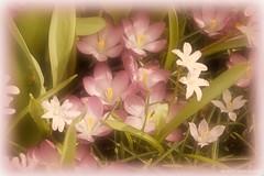 (❁bluejay 2006❁) Tags: pink flowers nature fleurs crocus dreamy monday nikond40 betterthangood damniwishidtakenthat bluejay2006 dragondaggerphoto zuzkasfaves flickrenvythebesttm